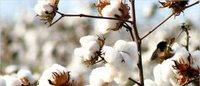 Küresel pamuk üretimi 2016-17'de %7 yükselecek