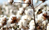 India's cotton exports to slump as Pakistan trims purchases