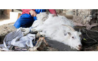 Caxemira: uma fileira eco-responsável criada em Mongólia