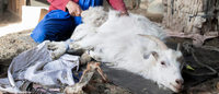 Cashmere: sustainable industry established in Mongolia