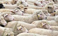 Manifestation de producteurs de laine du Lesotho contre un monopole chinois
