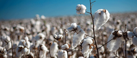 Cotton futures rise on support from grains, stock markets
