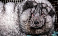 """Erschütternde Bilder: """"Monsterfüchse"""" sterben für die Pelzindustrie"""