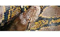 Suiza en contra de la crueldad a la hora de sacrificar reptiles por su piel