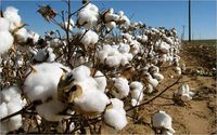 Fairtrade cotton has less environmental, social cost