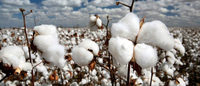 Pest blights India's GM cotton crop, fuelling debate over risks
