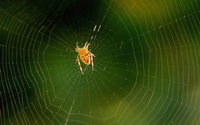La soie d'araignée bientôt produite artificiellement et de manière infinie ?