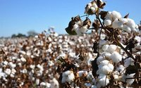 Epigenetic modification for better cotton coming up