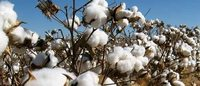 China mills seek more cotton from state reserves to ease supply squeeze