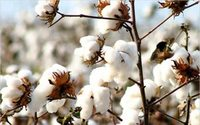 USDA says 2016/17 world cotton output to be 101.6mn bales