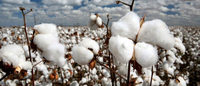 India to buy more cotton from farmers as China trims imports