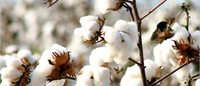 Government hardens stance on cotton seed price control
