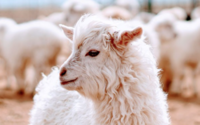 Protecting cashmere's future: John Lewis to fund Inner Mongolia wool programme