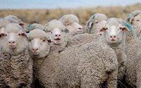 В Дагестане возрождают производство шерсти